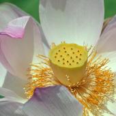 【鶴丸城跡の蓮】鶴丸城跡のお堀には、初夏になると蓮の花が咲き始めます。