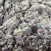 【沖ノ島のサル】薩摩藩英国留学生記念館のあるいちき串木野市にある無人島・沖ノ島には多くのサルがいます。地元ガイドの用意するガイドプランに参加すると、船上からえさをあげることができます。